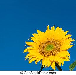sunflower over deep blue sky background
