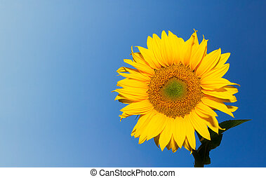 sunflower over deep blue sky background with copyspace