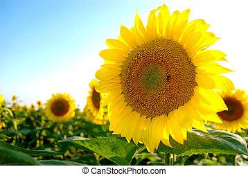 sunflower - beautiful sunflower with bee harvesting pollen