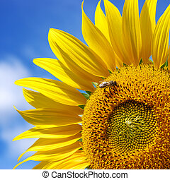 Sunflower - Big sunflower and sky. Nature composition.