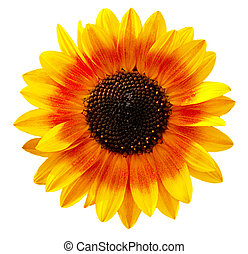 Sunflower - Bi color sunflower isolated on white background