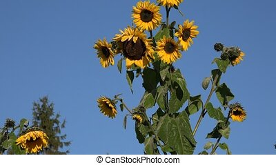 Sunflower plant with yellow blooms and white hoar on...
