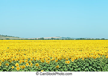sunflower plantation in hills of the Caucasus in summer day