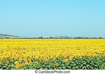 sunflower plantation in hills in summer day
