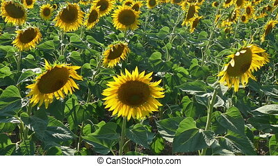 Sunflower plants in field