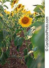 Sunflower portrait at sunset