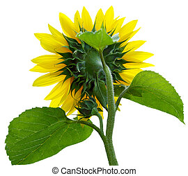 Sunflower Rear