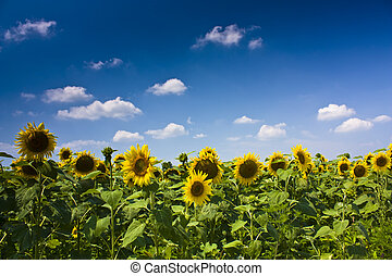Sunflower scene