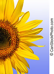 Sunflower - Section of a sunflower against a gradient blue...
