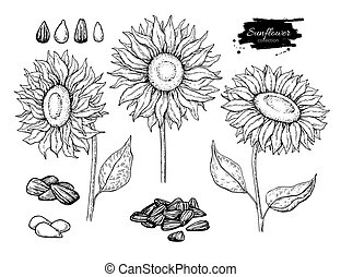 Sunflower seed and flower vector drawing set. Hand drawn...