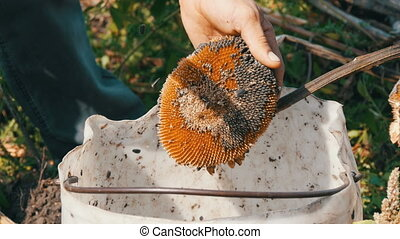 Sunflower seeds fall out of the head. in the field. Male...