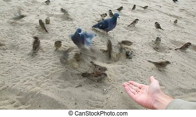 sunflower seeds on hand feeding pigeons and sparrows -...