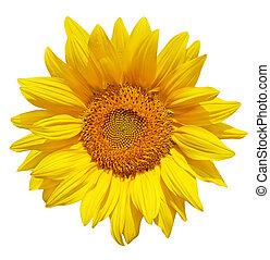 Single fresh sunflower isolated on white background