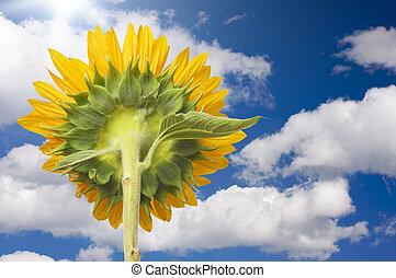 Sunflower Soaking Up The Sun Rays Against a Deep Blue Sky...
