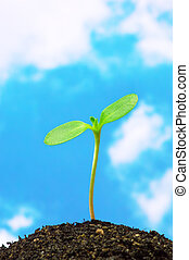 Sunflower sprout on blue sky background.(vertical)