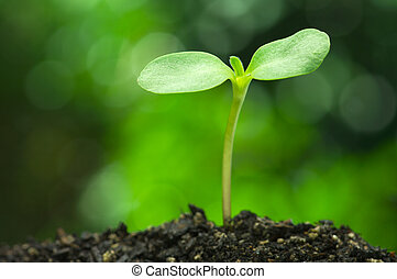 Sunflower sprout on vivid green bokeh background.(horizontal)