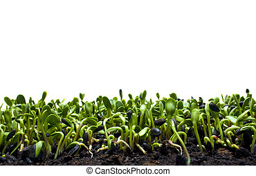 sunflower sprouts at peek harvest growing in organic growing...