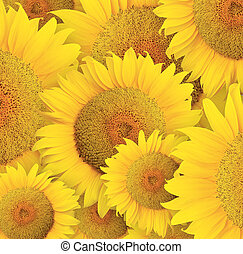 Sunflower - Stylized sunflowers head background for...