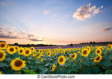 Sunflower Summer Sunset landscape with blue skies - Blue sky...