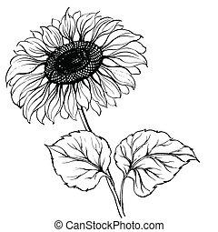 Sunflower isolated over white. Vector illustration.