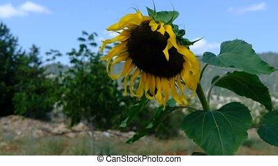 Sunflower swaying wind videos