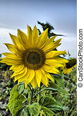 The ripened sunflower grown in the field in August