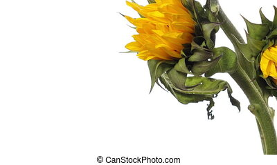 Time-lapse of a sunflower blooming.