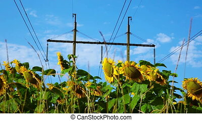 Sunflower under high-voltage power line - Sunflower field...