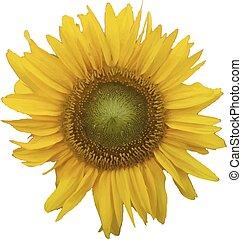 sunflower., vecteur, illustration.