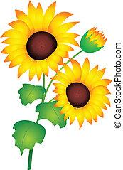 Sunflower vector - Sunflower isolated on white background....