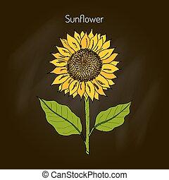 sunflower., vector, ilustración