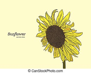 Sunflower. Vector set of hand drawn sunflowers , vintage style.
