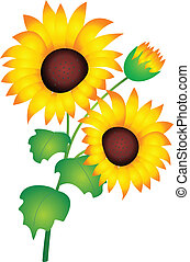 Sunflower vector - Sunflower isolated on white background. ...