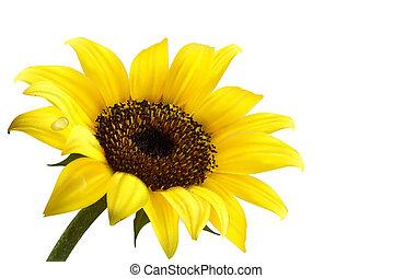sunflower., wektor, tło, żółty