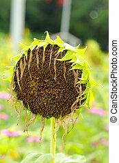 Sunflower wilt.