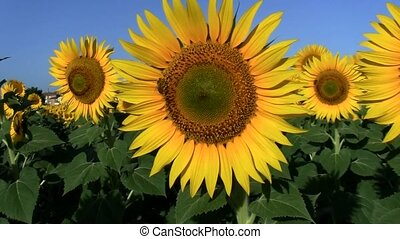 Sunflower with bee for pollination - Full HD video to mpeg4