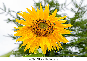 Sunflower with bees collecting pollen