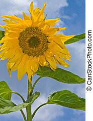 sunflower with blue sky and white clouds