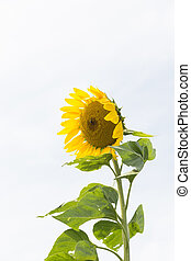 Sunflower with bright background