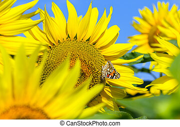 Sunflower with butterfly sitting.