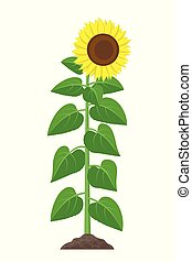 Sunflower with green leaves in flat style isolated on white background. Vector Illustration of sunflower plant flowering and fruit-bearing.