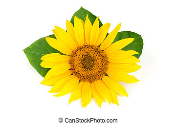 sunflower with leaves isolated on white background close-up