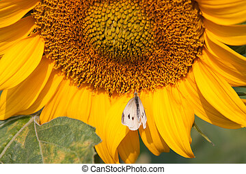 Sunflower with moth