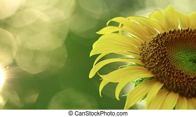 Sunflower With Space For Text And Glistening Sunlight - ...