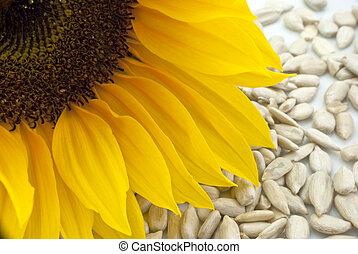 Sunflower with Sunflower Seeds - Closeup - Close-up of a ...