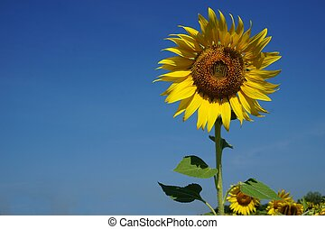 sunflower with the blue sky