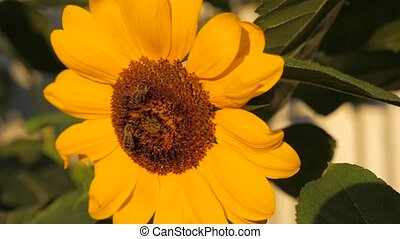 Sunflower with two honey bees collecting pollen on sunflower...