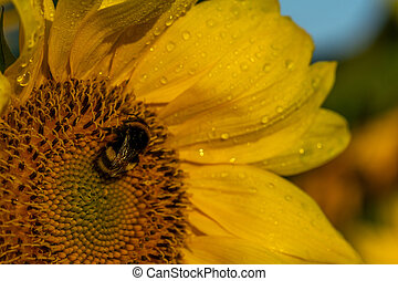 Sunflower with water drops and a bumblebee with green leaves in sunshine