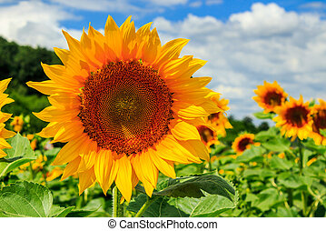 sunflower yellow head on a background of blue sky - big...
