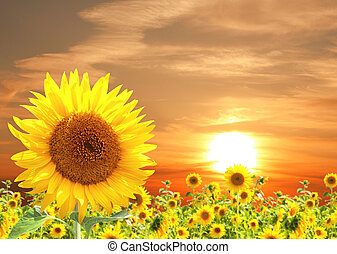 Sunflower - Yellow sunflower and sunset